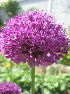 perfekte Alliumkugeln