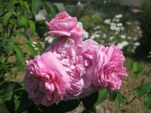 So prall gefüllt ist die Rose