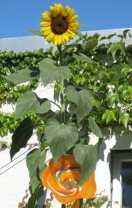 die einzige Sonnenblume