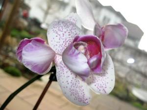 U_Orchidee